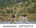 Heron  Ardeidae  Baby Birds...