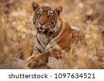 great tiger male in the nature... | Shutterstock . vector #1097634521