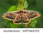great peacock moth   saturnia... | Shutterstock . vector #1097669291