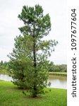 pinus serotina on the edge of... | Shutterstock . vector #1097677604