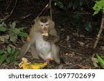 monkey eating in the wild | Shutterstock . vector #1097702699