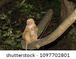 monkey in the wild | Shutterstock . vector #1097702801