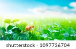 lovely snail in grass with... | Shutterstock . vector #1097736704