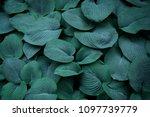 Hosta Leaves Pattern Backgroun...