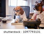 bulldog and beagle dressed as...   Shutterstock . vector #1097793131