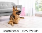 Stock photo adorable german shepherd dog near sofa indoors 1097799884