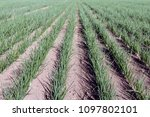 converging long rows with small ... | Shutterstock . vector #1097802101