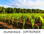 cornfield on the edge of the... | Shutterstock . vector #1097829605