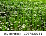 hypnotizing picture with lilies ... | Shutterstock . vector #1097830151