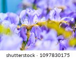 blue irises on a spring day | Shutterstock . vector #1097830175