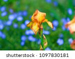 color iris on the background of ... | Shutterstock . vector #1097830181