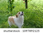 the sweet dog looks at sour... | Shutterstock . vector #1097892125