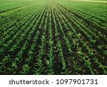 aerial view of corn crops field ... | Shutterstock . vector #1097901731