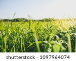 Tall Green Grass In The Field....