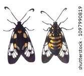 Small photo of Beautiful spotted moth moth (Trypanophora semihyalina) isolated on white background