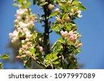 apple tree branch in blossom on ...   Shutterstock . vector #1097997089