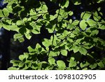 beech branches in summer | Shutterstock . vector #1098102905