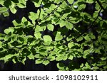 beech branches in summer | Shutterstock . vector #1098102911