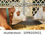 simmental cow head  a shoulder... | Shutterstock . vector #1098103421