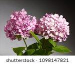 hidrangea flowers pink | Shutterstock . vector #1098147821