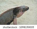 a closeup of an iguana on allen'... | Shutterstock . vector #1098150035