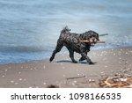 yorkie dog on an off leash beach | Shutterstock . vector #1098166535