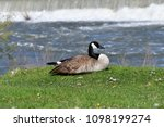 Goose On The Banks Of The Snak...