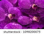 vanda orchid as a background   Shutterstock . vector #1098200075