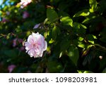 delicate thornless  silvery... | Shutterstock . vector #1098203981