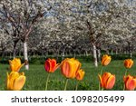 cherry trees in bloom and... | Shutterstock . vector #1098205499