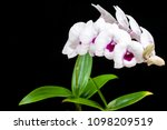 orchid flowers white circle...   Shutterstock . vector #1098209519