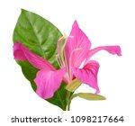 beautiful bauhinia purpurea... | Shutterstock . vector #1098217664