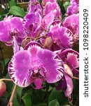 close up beautiful orchid...   Shutterstock . vector #1098220409