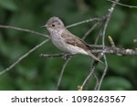 musciapa striata flycatcher... | Shutterstock . vector #1098263567