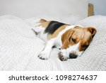 beagle dog sleeps on bed in a... | Shutterstock . vector #1098274637
