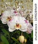 white orchid with purple spots.   Shutterstock . vector #1098289649