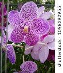 pink orchid pattern   Shutterstock . vector #1098292955
