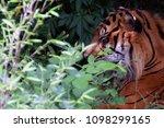 sumatran tiger  panthera tigris ... | Shutterstock . vector #1098299165