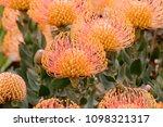 pincushion protea  leucospermum ...   Shutterstock . vector #1098321317