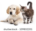 Stock photo labrador puppy and kitten breeds maine coon cat and dog 109832201