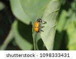 Small Poplar Leaf Beetle...