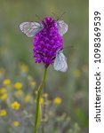 anacamptis pyramidalis in...   Shutterstock . vector #1098369539