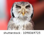 Southern White Faced Owl With...