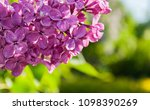 lilac flowers blossoming in the ... | Shutterstock . vector #1098390269