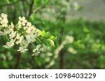 beautiful blossoming tree...   Shutterstock . vector #1098403229