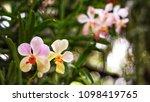 the bloom orchids in the garden ...   Shutterstock . vector #1098419765