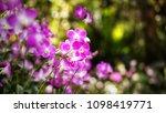 the bloom orchids in the garden ...   Shutterstock . vector #1098419771