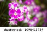 the bloom orchids in the garden ...   Shutterstock . vector #1098419789