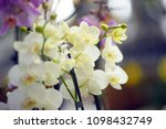 branch of a white orchid   Shutterstock . vector #1098432749