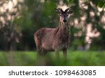 solitary red deer stag with... | Shutterstock . vector #1098463085